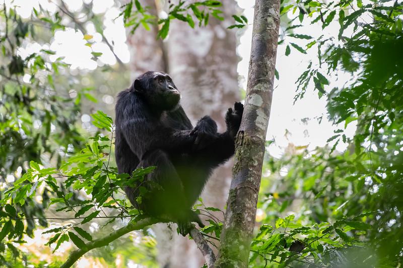 Uganda_T_Chimps-387.jpg