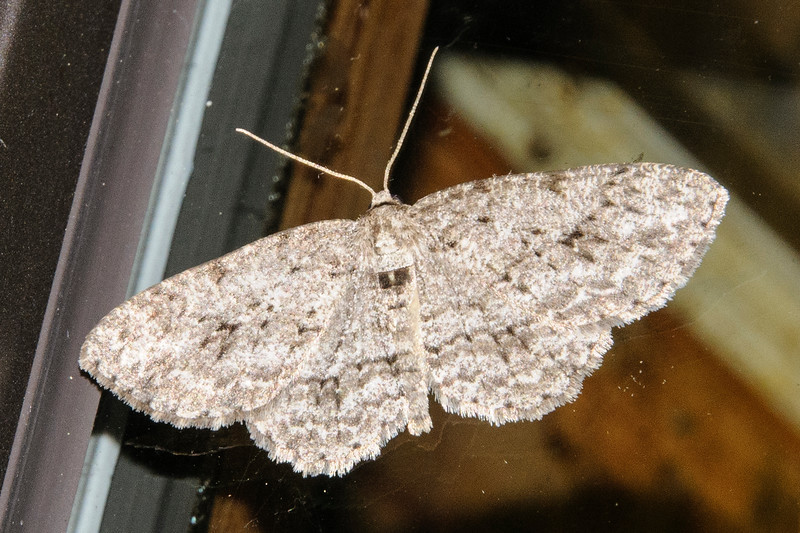 Engrailed-Small-(Ectropis crepuscularia)- Dunning Lake - Itasca County, MN