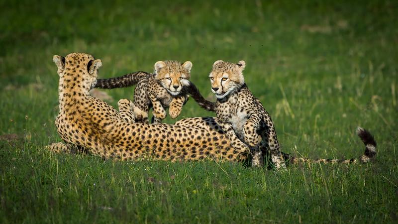 Cheetahs-0220.jpg