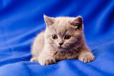 British shorthair blue kitten