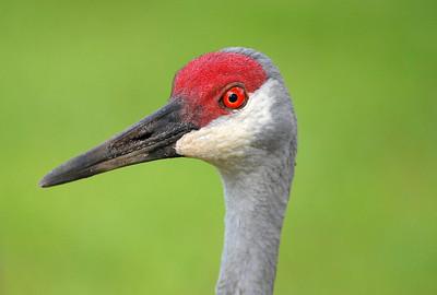 0 Sandhill Cranes
