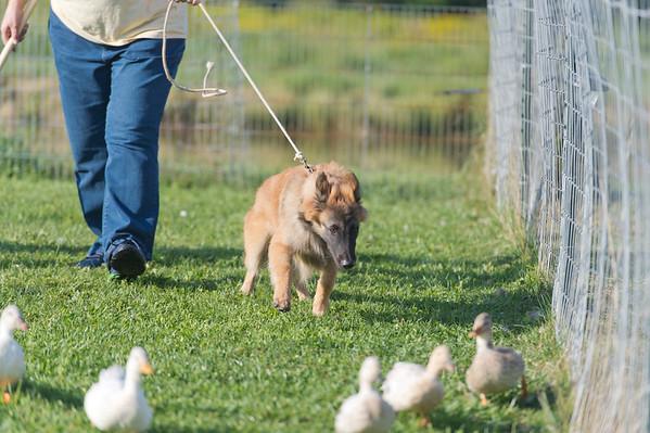 Puppy herding 8-27-17
