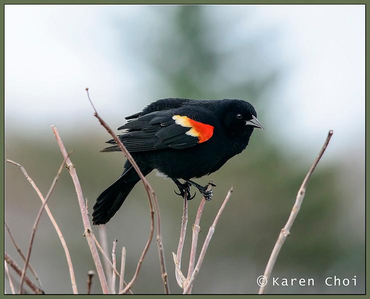Blackbird 4 sm.jpg