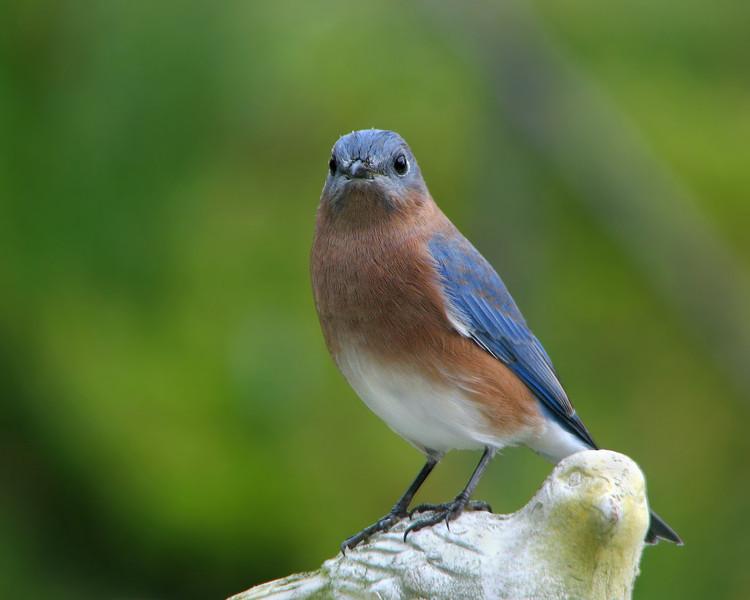 bluebird_fledgling_2687.jpg