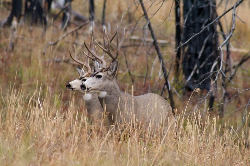 Mule Deer bucks Yellowstone National Park WY_MG_3920.jpg