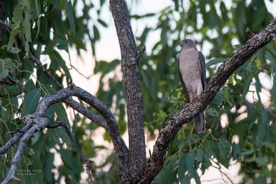 Collared Sparrowhawk (Accipiter cirrocephalus)