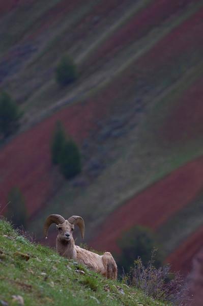 sheep-red hills1.jpg