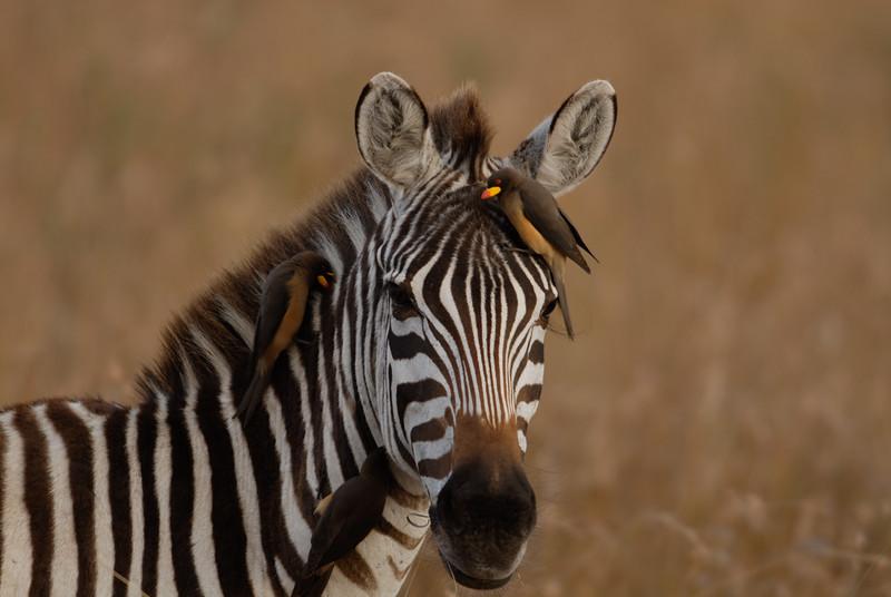 Plains zebra,Equus quagga. Masai Mara, Kenya.