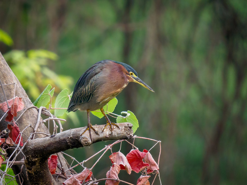 Green Heron in typical pose on the creek