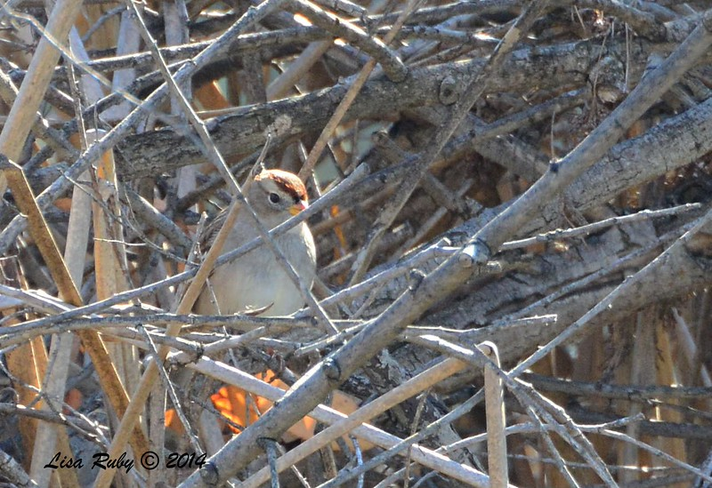 White-crowned Sparrow - 1/3/2015 - RB CBC, on edge of golf course off Verano Drive