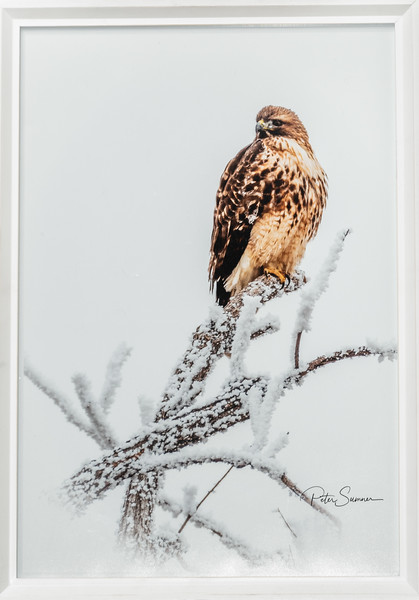 Red Tail Beauty