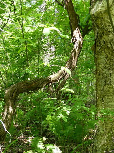 Vine attached to Yellow Birch
