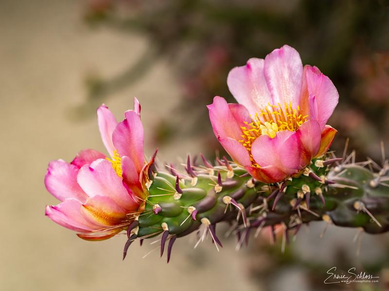 IR Cactus Flowers 2-1-2019a-.jpg