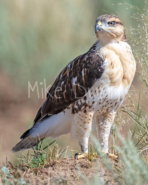 Ferruginous Hawk-163