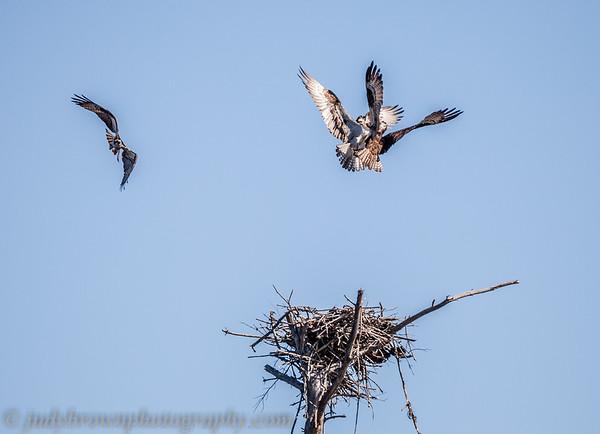 Osprey Nest at Waseeka