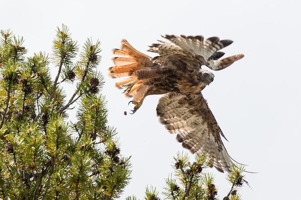 Hawks/Buteos