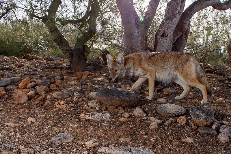 coyote407.JPG