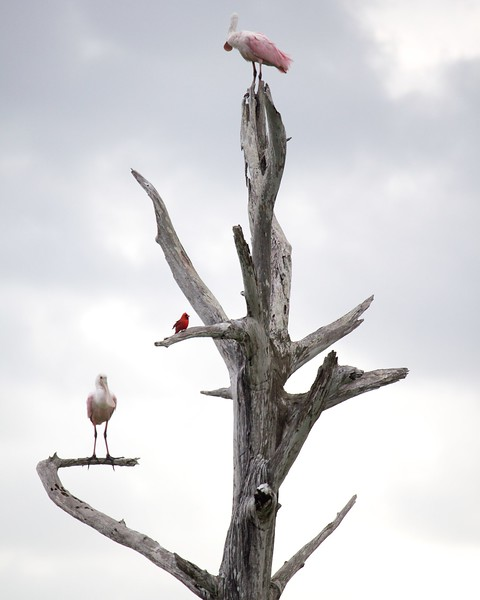 roseate spoonbills and cardinal