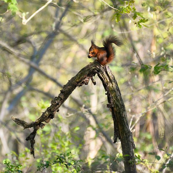 Red-European-squirrel.jpg