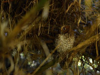 Bare-shanked Screech-Owl (Megascops clarkii)