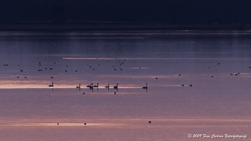 Sangsvaner - Cygnus cygnus - Whooper Swan