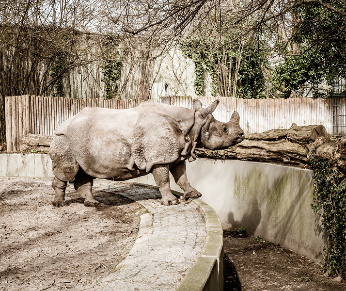 Rhino contemplating an escape in Berlin Zoo