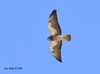 Borrego Springs, Swainson's Hawks - 3/15/2016