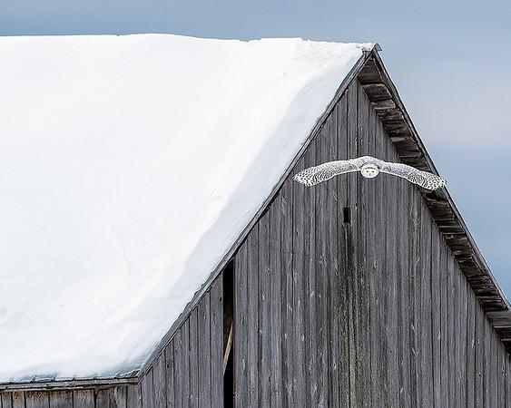 Snowy Owls of UP Michigan