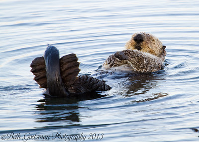 Morro Bay - Sea Otters