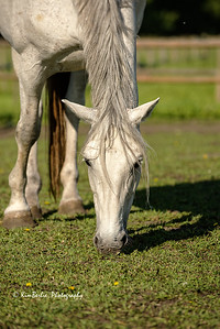 Grey Mare Grazing