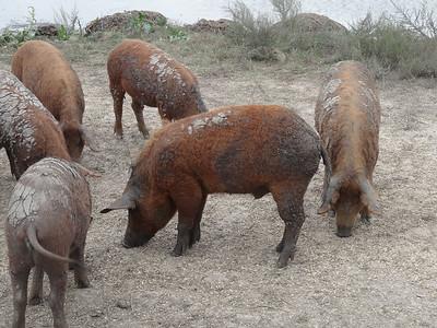 Mangalitza Schweine in Ungarn