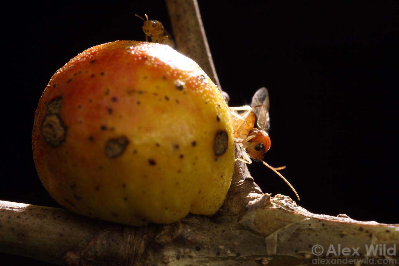 Hyperparasitoid wasps on oak gall