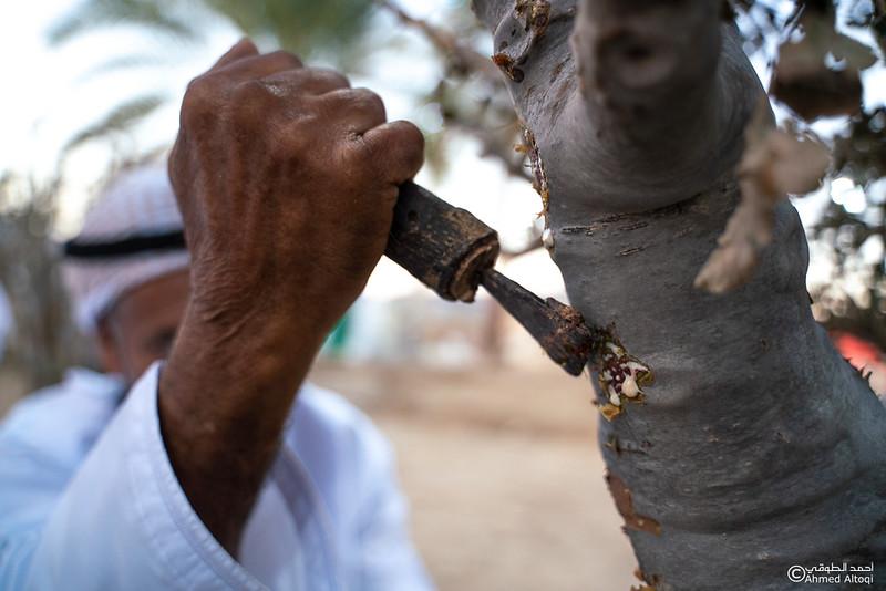 Thamrait 098 - frankincense - Dhofar.jpg