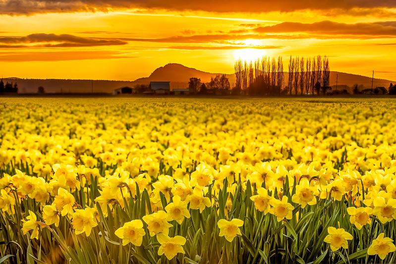 Daffodils at Sunset.jpg