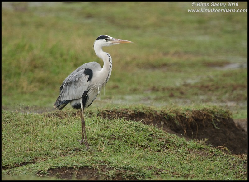 Grey Heron, Ngorongoro Crater, Ngorongoro Conservation Area, Tanzania, November 2019