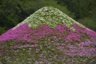 Fuji Moss Phlox Festival (富士芝桜まつり)