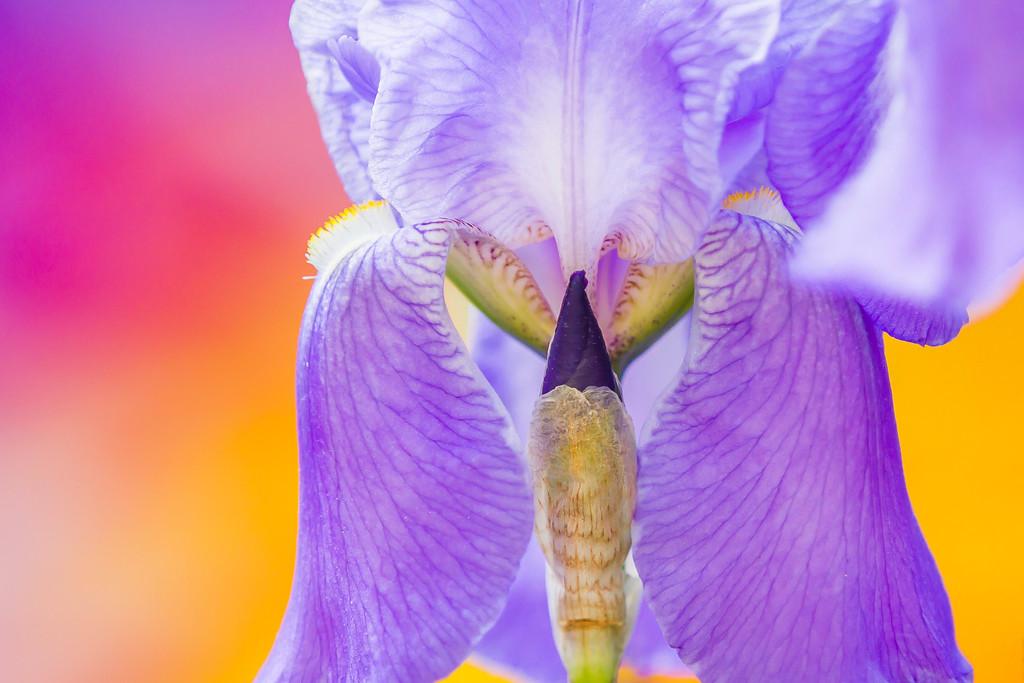 鸢尾花,清新亮丽