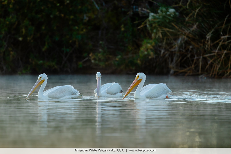 American White Pelican - AZ, USA