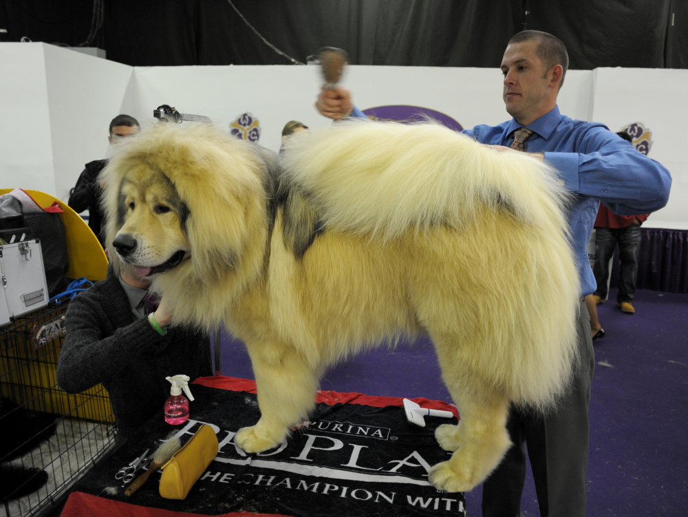 Description of . Sasha, a Tibetian Mastiff, is groomed by Shea Skinner (R) and Jordan Rothell (L) at the Westminster Kennel Club Dog Show February 12, 2013 in New York.  STAN HONDA/AFP/Getty Images