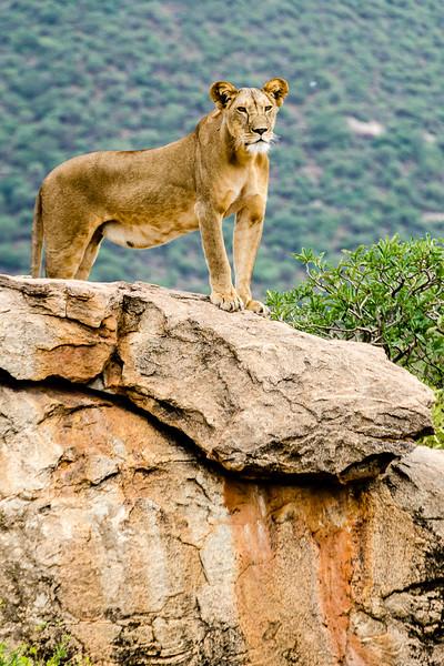 Lions-0106.jpg