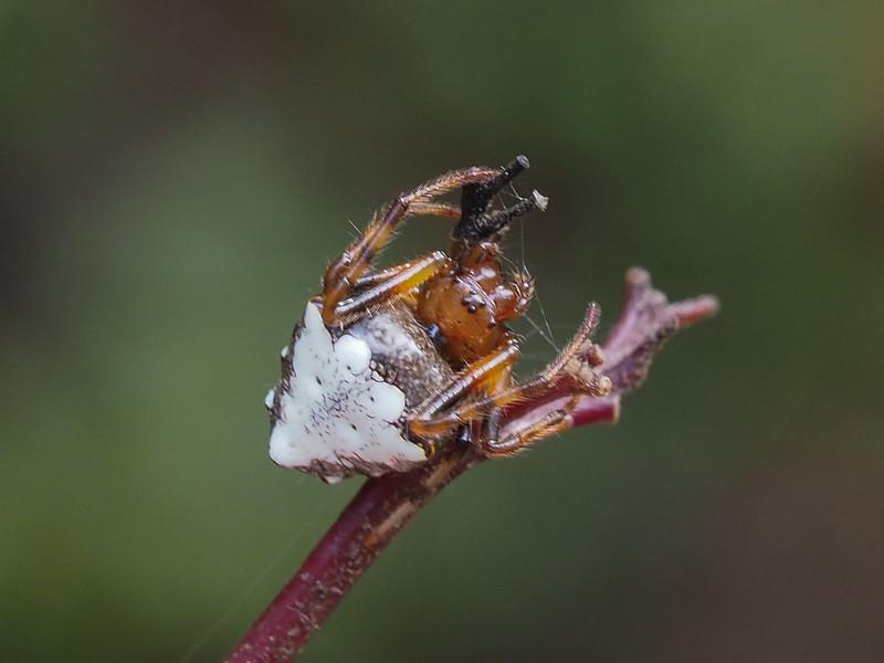 Orbweaver - Verrucosa arenata