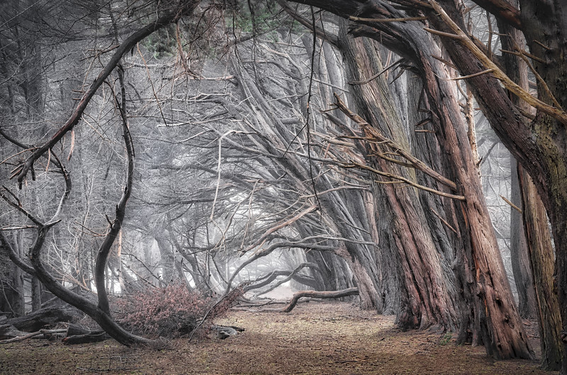 Cypress Forest & Mist, Sea Ranch, California