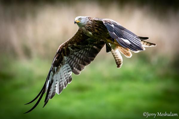 Wales: Red Kites