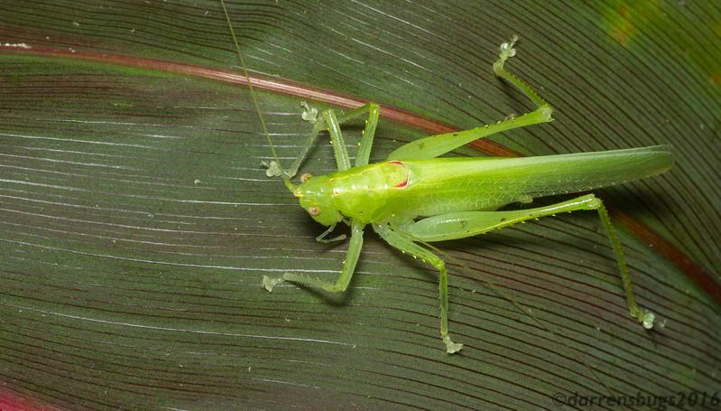 Conehead katydid (Conocephalinae: Subria sp.) from Panama.
