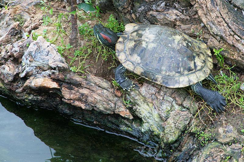 Kowloon Park, Turtle