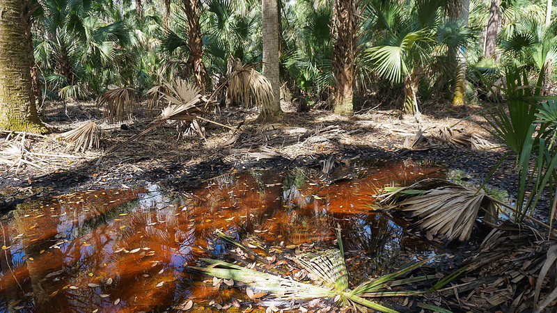 Reddish-orange puddles among palms