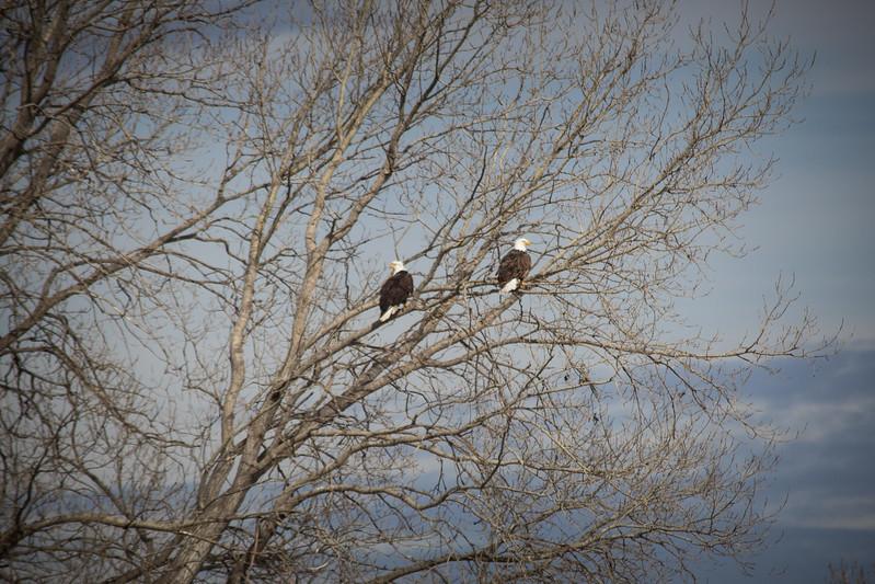 Eagle double-7244.jpg