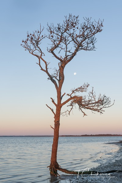 Assateague Pine Tree and Moonset Two-1505677083323.jpg