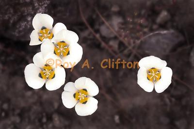 Carson Pass/Silver Lake area Wildflowers