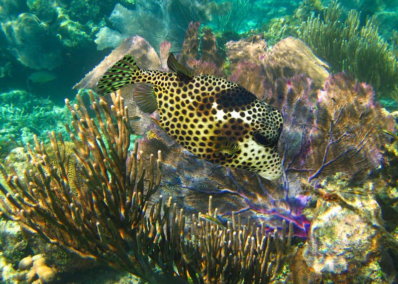 SMOOTH TRUNKFISH - CAYMAN ISLANDS